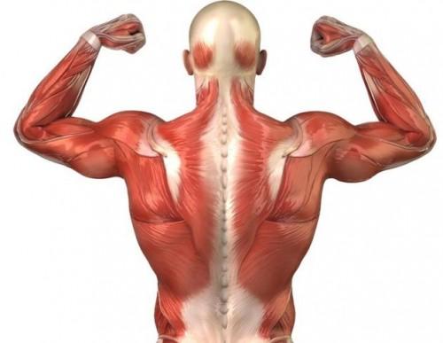 Musculo-estriado-500x387