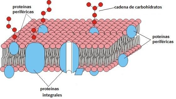Proteinas_de_membrana_Ink_LI.jpgmedio