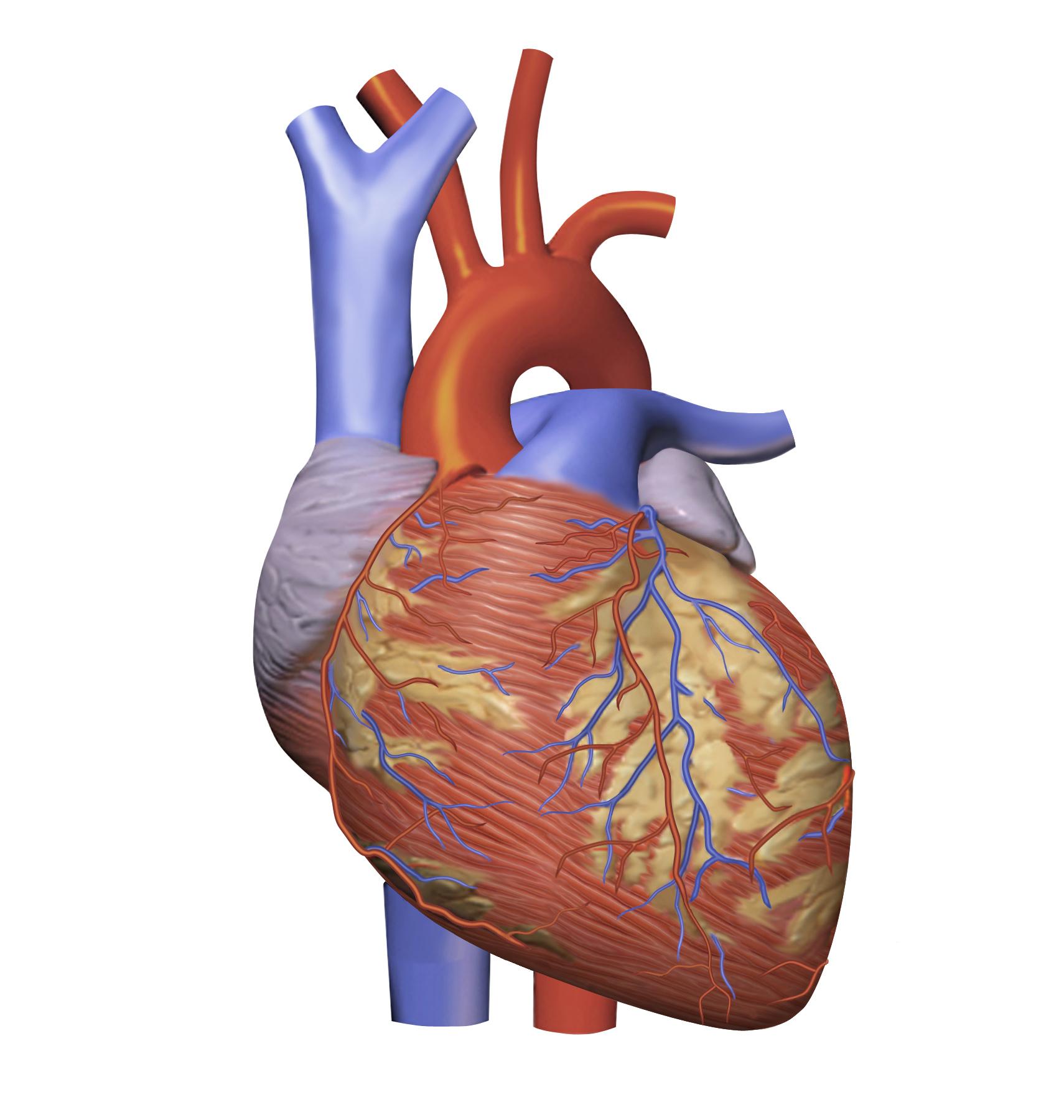 Heart_Model